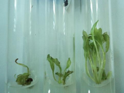 Индукция морфогенеза в культуре тканей кок-сагыза